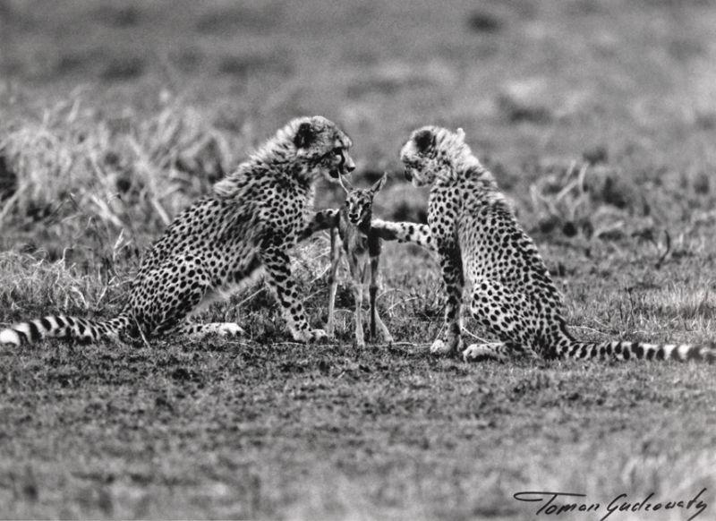Gudzowaty cheetahs photo